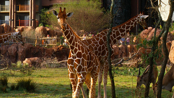 Exotic animals at Disney's Animal Kingdom Lodge
